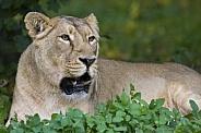 Lioness - Okavango Delta - Botswana