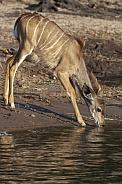 Young female Kudu antelope drinking