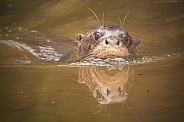 Giant Otter Swimming Head Out Of Water