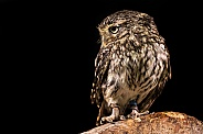 Little Owl Full Body Side Profile Black Background
