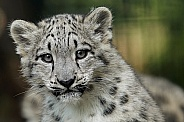 Snow Leopard Cub