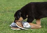 Puppy (mixed breed)