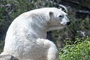 Polar bear at the zoo looking around
