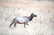 Wild female elk walking in a field