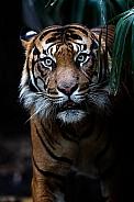 Sumatran Tiger (Hutan)