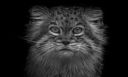 Pallas Cat Close Up Black and White
