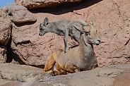 Bighorn Lamb climbs atop his Mother