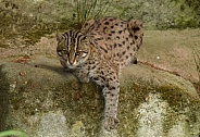 lazy Fishing cat
