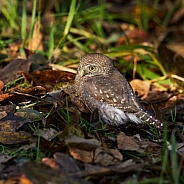 Northern Pygmy Owl on the ground