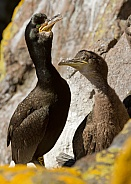 European Shag with Chick