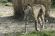 Cheetah Full Body Walking