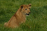 Lion Cub Sitting In The Grass