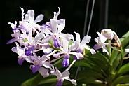 Neostylis Lou Sneary 'Bluebird' Orchid