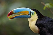 Toucan Eating a Grape