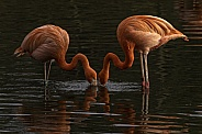 Caribbean Flamingo Pair Feeding In Water