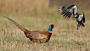 Pheasant and the lagwing