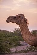 Omani Dromedary Camel