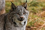 Young Canadian Lynx Close up