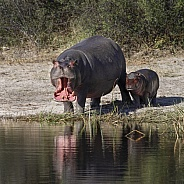 Mother and baby Hippopotamus - Botswana