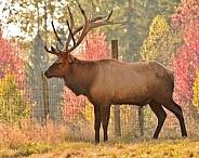 Roosevelt Elk - Bull
