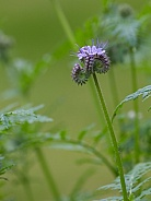 Lacy Phacelia Wildflowers in Bloom