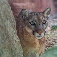 Mountain Lion Stalking