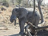 African Elephant sleeping