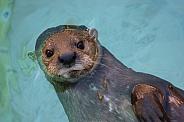 Otter Floating