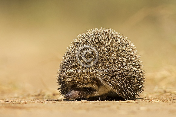 Indian Pale Hedgehog, a small mammal with spike for protection from threat