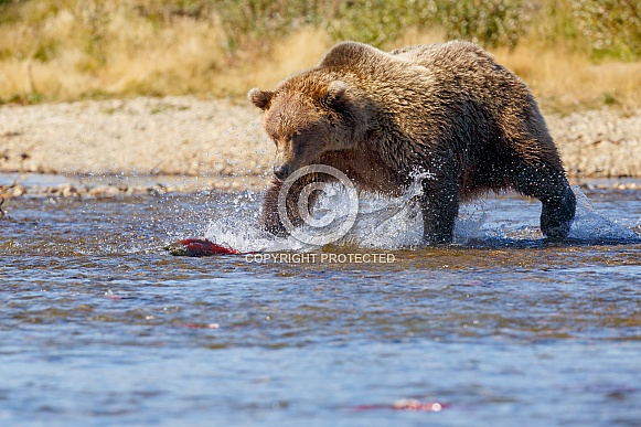 Grizzly Bear at Alaska and red salmon