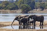 African Elephants drinking - Chobe River - Botswana