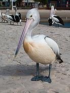 Australian Pelican portrait