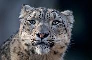 Snow Leopard Portrait
