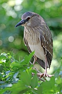 Night Heron (female)