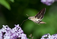 Hummingbird hawkmoths