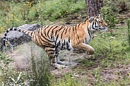 Running Amur tiger