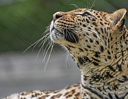 African Leopard Looking Up