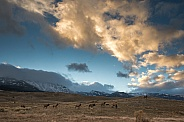 Herd of elk against a dramatic sky and clouds