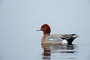 The Eurasian wigeon, a duck with beautiful coloured feathers