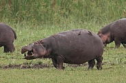 Hippopotamus and Red-billed Oxpeckers