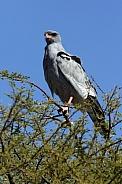 Southern Pale Chanting Goshawk - Botswana