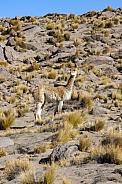 Guanaco in the Atacama Desert - Chile