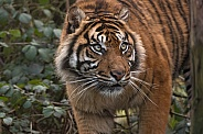 Sumatran Tiger Walking