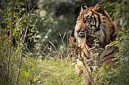 Sumatran Tiger Side Profile Lying In Long Grass
