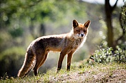 Red fox on a hill in the sun