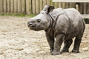 Baby Greater One Horned Rhino