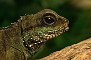 Female Chinese water dragon close up