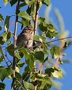 Lincoln's Sparrow in a Tree