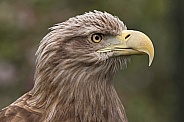 White Tailed Fish Eagle Side Profile