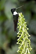 Collared Inca Hummingbird - Ecuador